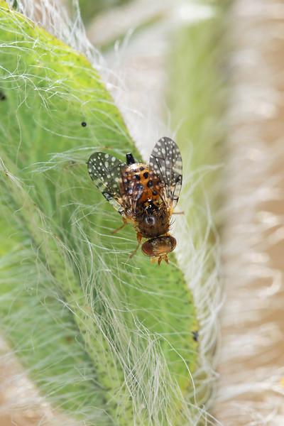 Fruit Fly (Tephritidae)