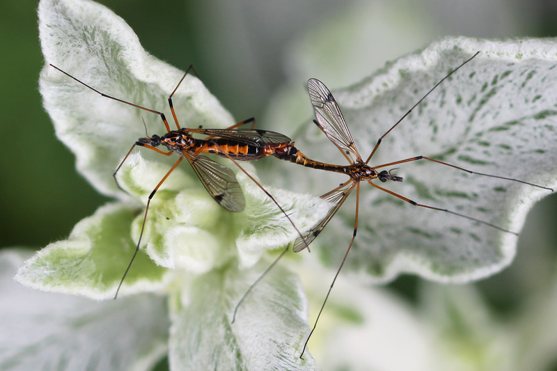 Crane Flies Mating (Tipulidae)