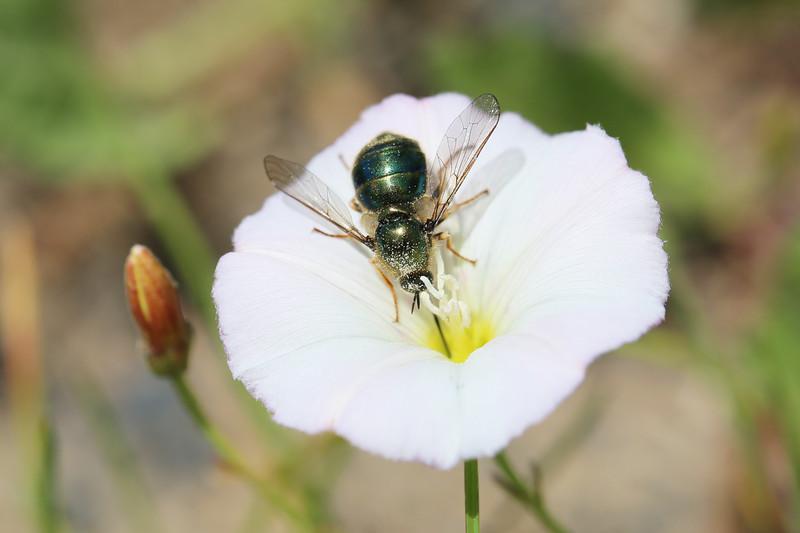 Small-headed Fly (Acroceridae)