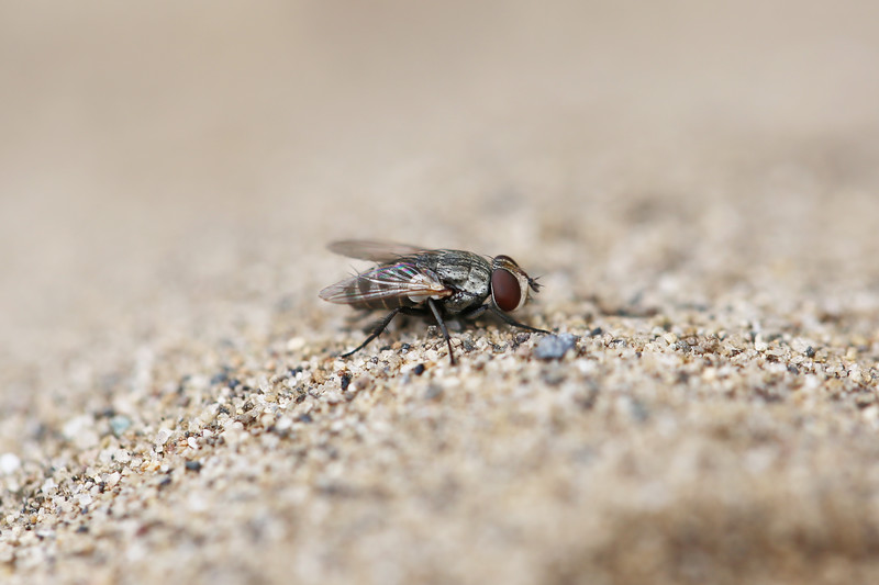 Sphecid Wasp Parasitic Fly (Tachinidae)