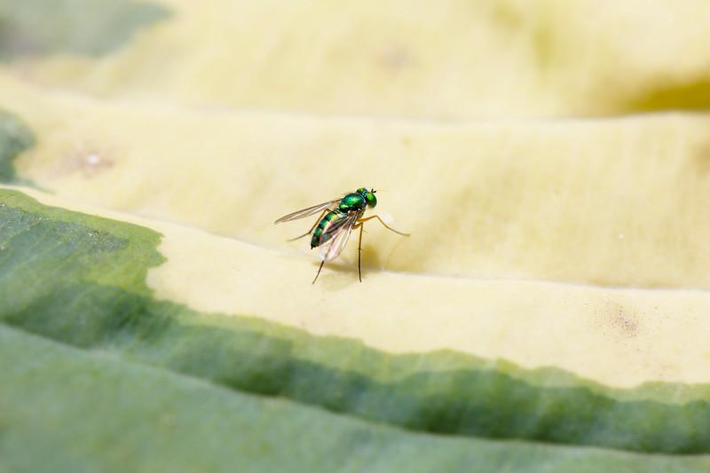 Long-legged Fly (Dolichopodidae)