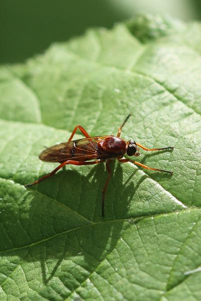 Awl-Fly (Xylophagidae)