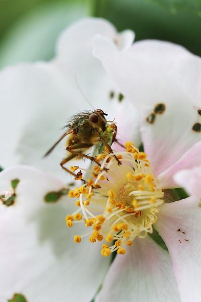 Golden Dung Fly (Scathophaga stercoraria)