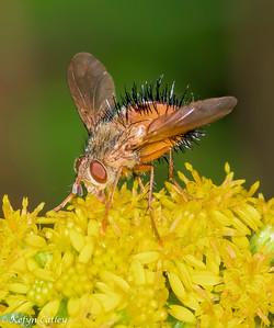 DIPTERA: Tachinidae: Pararchytas decisus