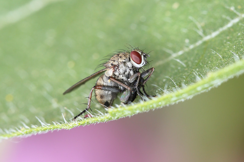 Calypterate Fly with Prey (Calyptratae)