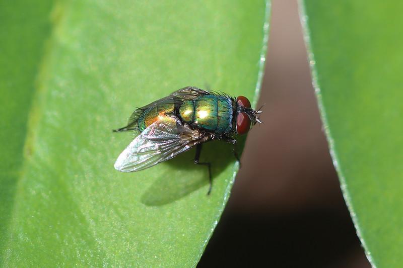 Blow Fly (Calliphoridae)