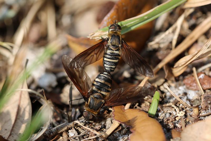 Bee Flies Mating (Bombyliidae)