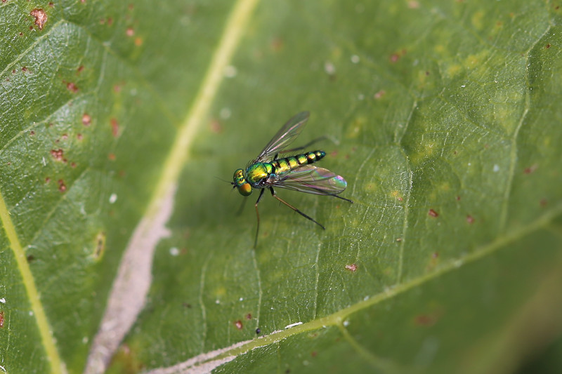 Long-Legged Fly (Dolichopodidae)