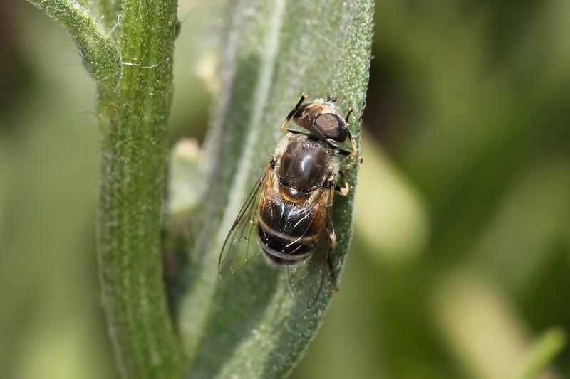 Horverfly (Syrphidae)