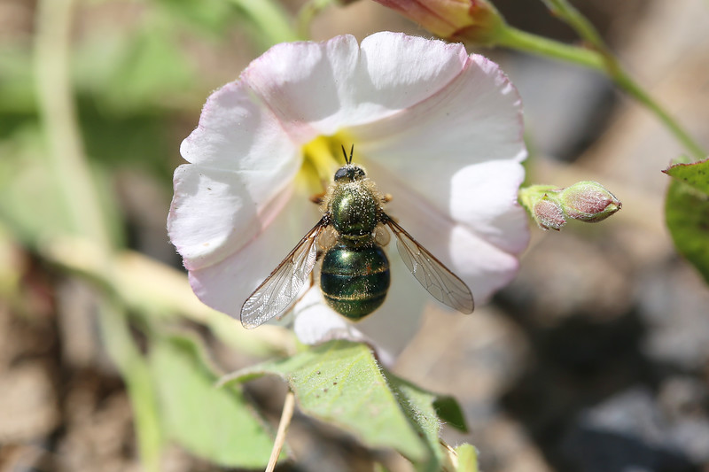 Small-headed Fly (Acroceridae)