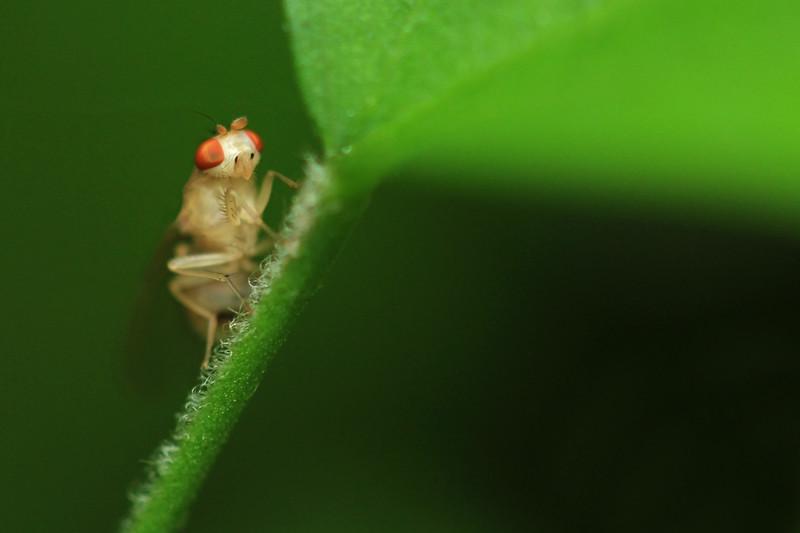 Drosophila by Bruno SUIGNARD