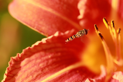 Hoverfly in Flight  by Bruno SUIGNARD