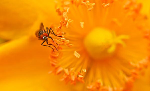 Fly on St. John's wort  blossom