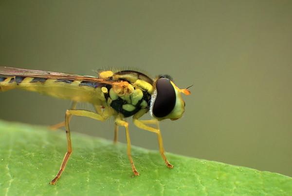 Hoverfly - Syrphe ceinturé  by Bruno SUIGNARD
