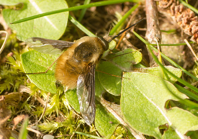 Bee Fly 1