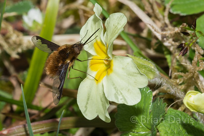 Bee Fly 6