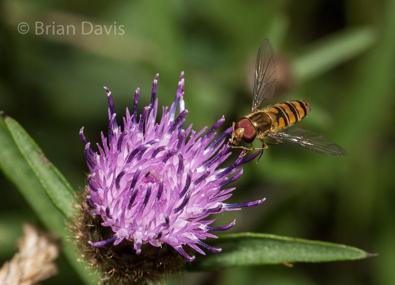 Hoverfly sp, Episyrphus Balteatus, 2