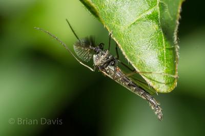 Flies,  Album 1 (Diptera, True flies)