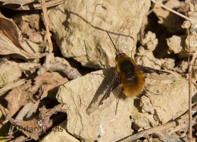 Bee Fly 2