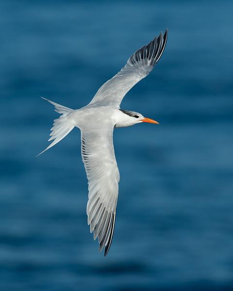 Royal Tern (winter plumage)