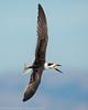 Black Skimmer - juvenile