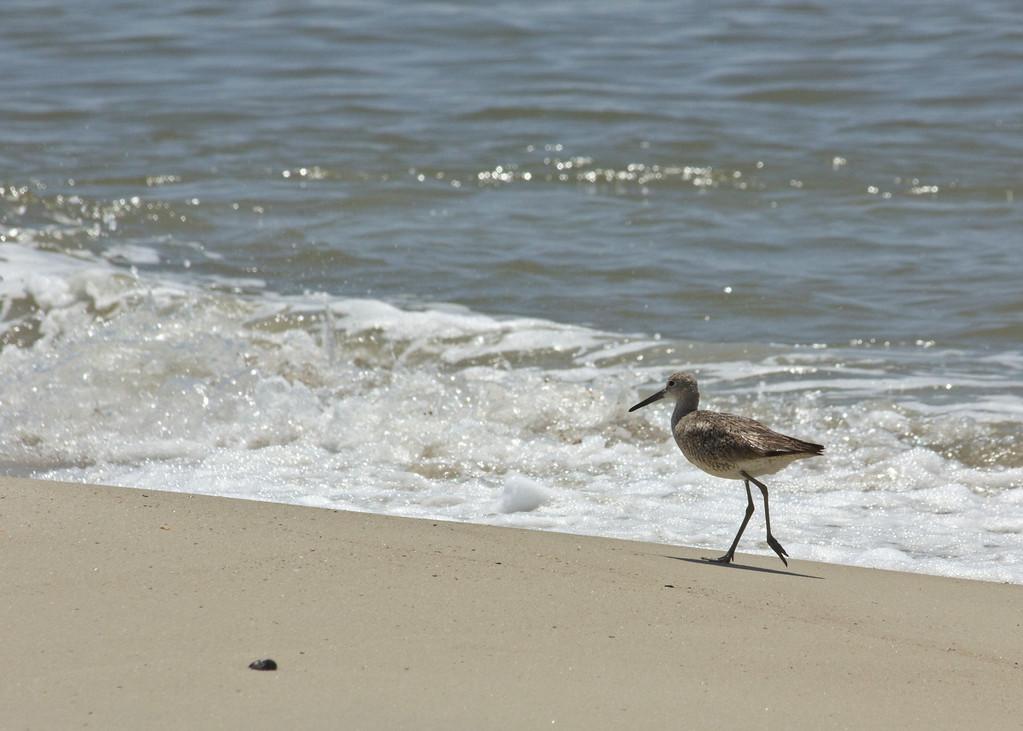 Plover on Beach