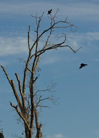 Crows in dead tree