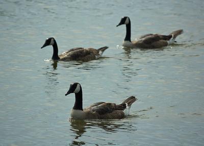 Geese Cruising