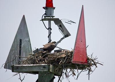 Osprey nest on Buoy