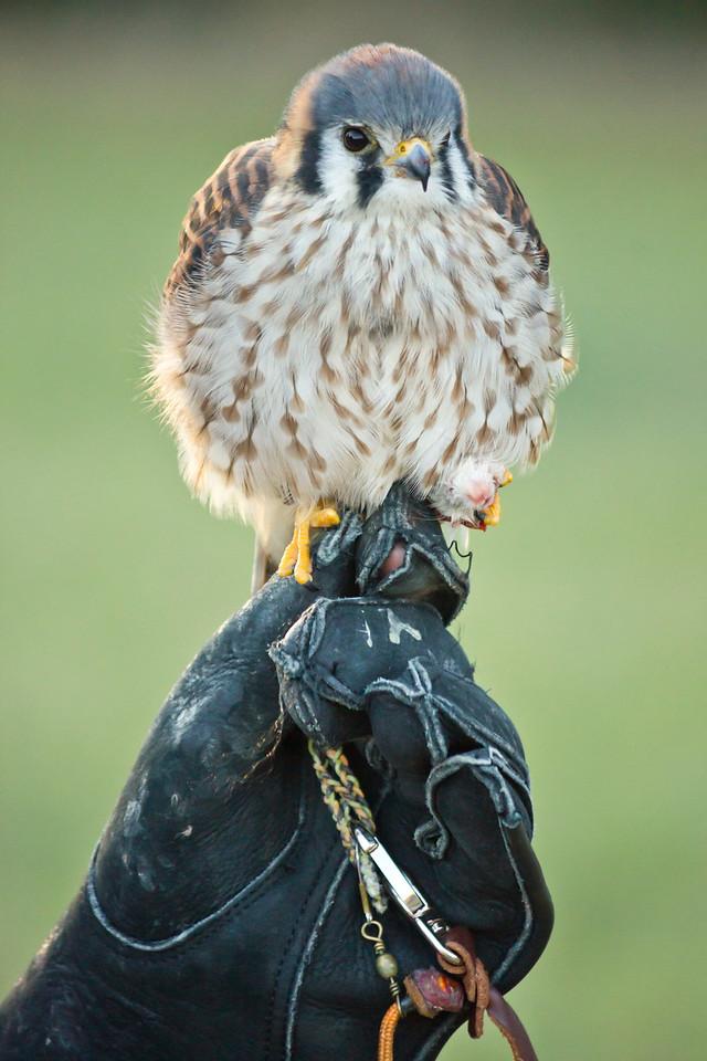 Falcon perched on glove