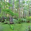 Cache River swamp, IL