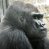 Western lowland gorilla at Sedgwick County Zoo close to Wichita Kansas