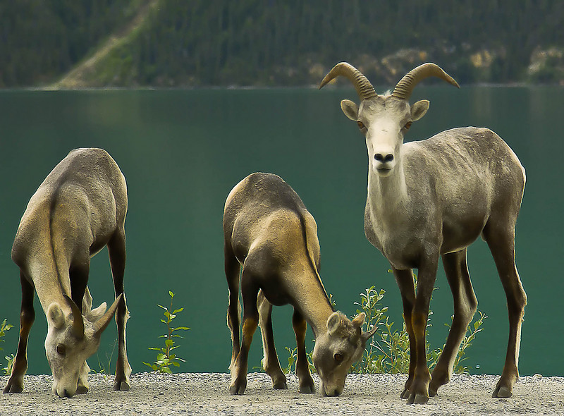 Muncho Lake British Columbia, stone sheep