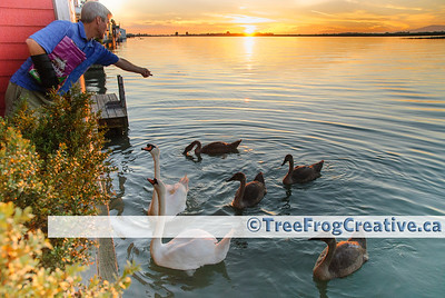 Feeding the swans at sunset