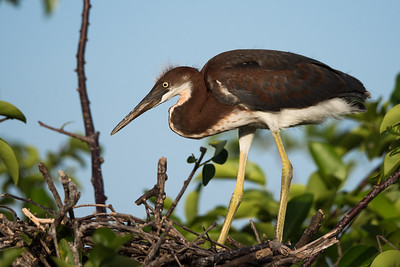 Baby Tri-Colored Heron