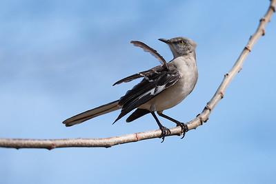 Mockingbrd on a branch