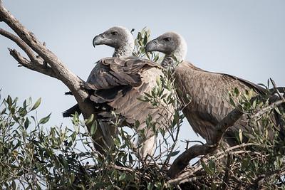 Nesting Griffon Vultures