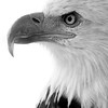 A majestic Bald Eagle image of which reflects the spirit of FREEDOM of the United States of America.