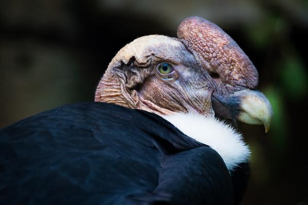 Dennis Stewart - Andean Condor