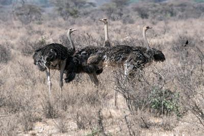 Ostriches - Samburu Africa 2017