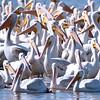 Pelican Flock 2016