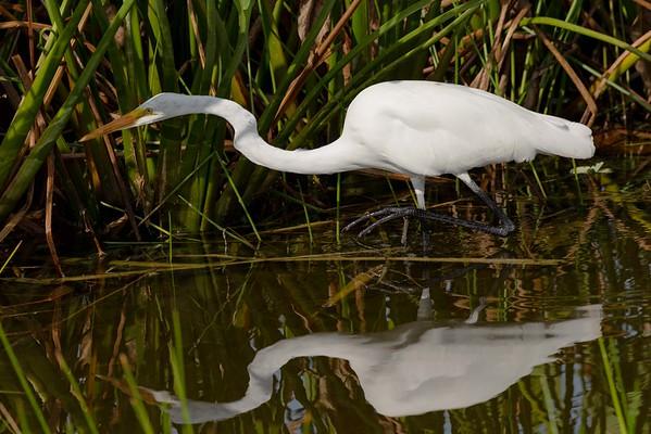 Stalking Egret