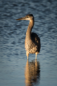 Young Great Blue Heron 2018