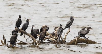 Cormorants on a Lake