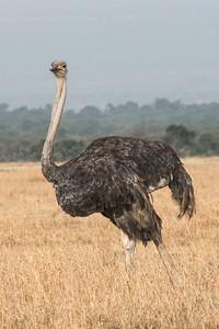 Dennis Stewart - Ostrich