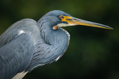 Tri-Colored Heron 2011