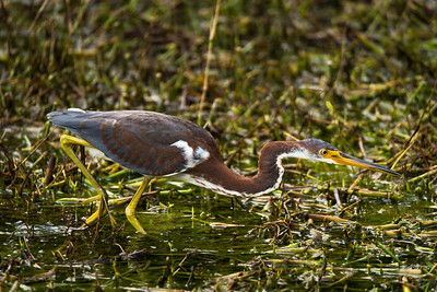 Juvenile Tri-Colored Heron