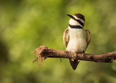 Resting Bee Eater Bird