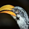 Eastern Yellow billed hornbill