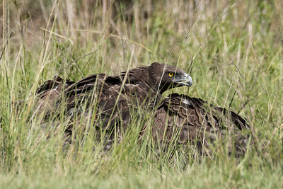 Martial Eagle Attack